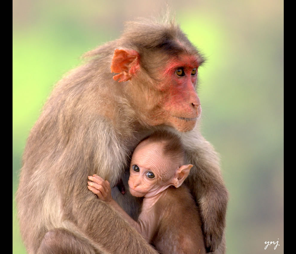 Monkey-mother-comforting-her-curious-baby